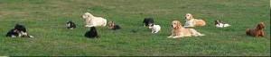 Tous les chiens sont couchés, à proximité les uns des autres, et les maîtres ... sont cachés ! Il faut une relation particulièrement confiante et un bon niveau d'obéissance pour arriver à ce résultat !